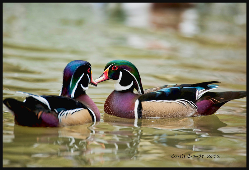 American Wood Duck   Also known as the Carolina Duck<br /> <br />  Extremely rare in the early 20th century, but partially due to an extensive nest box program, is now probably the most numerous breeding waterfowl of the eastern US <br /> May rear more than one brood a year
