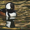 Hooded Merganser  <br /> <br />  Favor flooded timberland with an abundance of dead trees<br />  Fish are less important in their diet than crayfish, small mollusks, insects, tadpoles, newts and frogs<br />  Nest cavities may be as high as 75' up, a very long plunge for tiny ducklings