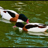 Common Shelduck  (Tadorna tadorna)<br /> <br />  Breeding drakes have a large, waxy-red, fleshy knob atop the bill<br />  Feeds primarily on small marine invertebrates- commonly forages at night depending on the tide<br />  May nest in rabbit burrows