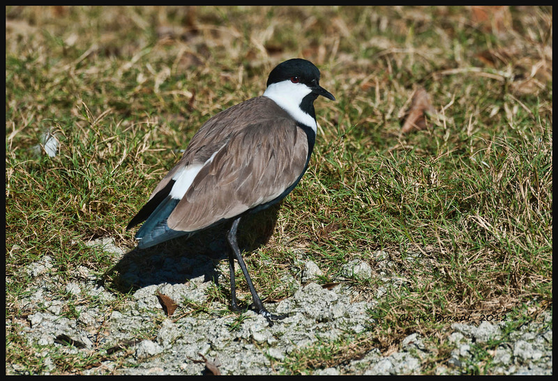 Spur-winged Lapwing   (Vanellus spinosus)<br /> <br />  ••Also known as the spur-winged plover, this small bird feeds primarily on insects (esp. beetles), spiders, crustaceons, small fish, tadpoles and adult frogs.<br />  ••As in most lapwing species, this bird oftentimes flushes its prey out of hiding by tapping or trembling its foot on the ground.