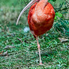 Scarlet Ibis    (Eudocinus ruber)<br />  <br />  The national bird of Trinidad and Tobago<br />  The scarlet ibis is featured on their coat of arms.<br />  This bright pink colored ibis gets its coloration from the small crustations and other small marine animals that it consumes.<br />  Its long curved bill is very sensitive and is often used to deeply probe muddy substrates to locate their prey.