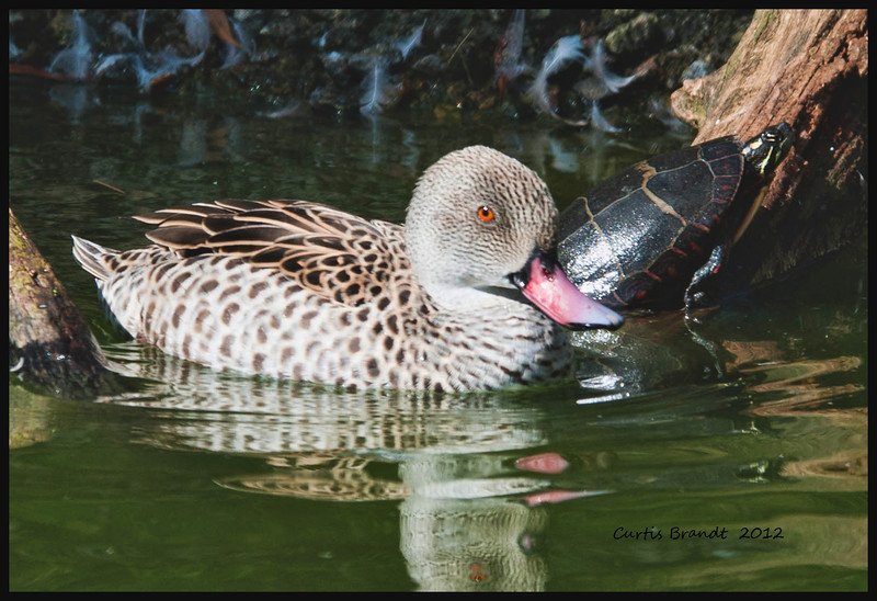Cape Teal   (Anas capensis)<br /> <br />  ••Both sexes have beautiful rose-pink bills.<br />  ••Feeds mainly on animal prey, including insects, crustaceans and tadpoles.<br />  ••Breeding is triggered by rainfall, thus pairs may breed at any time of the year.