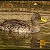African Yellow-billed Duck   (Anas undulata)<br /> <br />  •Breeding can occur any time of year, but normally at the peak of the onset of local rains when invertebrate food for the ducklings is most available