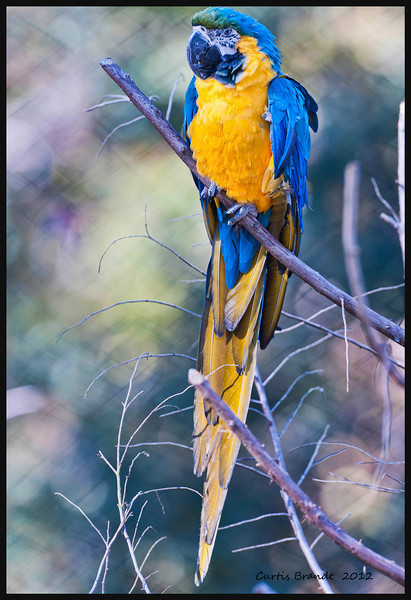 Blue-and-Gold Macaw  (Ara ararauna) <br />  <br />  When this bird becomes excited, its face will become pink.<br />  Some foods which are toxic to this bird are; cherries, avocados and chocolate. <br /> Listed as an endangered species in Trinidad.