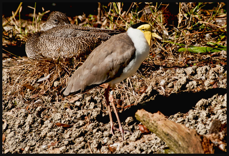 Indonesian Masked Lapwing   (Vanellus miles)<br />  <br /> This large plover has bright yellow wattles covering its face and long yellow wing spurs.  These birds are well known for their intense defense of their nest site; which is generally a simple scrape in the ground.  Both adults will aggressively attack potential intruders.  Chicks hatch out precocial and are ale to feed themselves within a few hours.