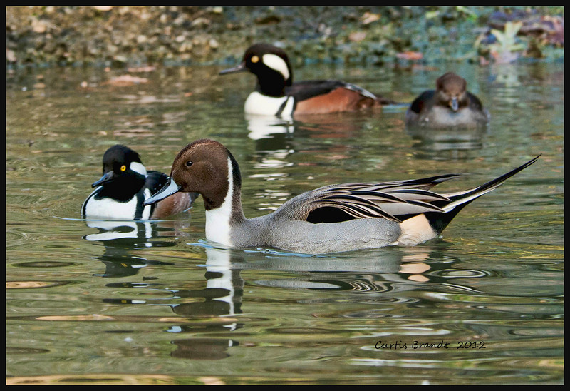 Northern Pintail   (Anas acuta)<br /> <br />  Named for the long pointed drake tail<br />  Commonly known by the hunter name of Sprig<br />  Especially long necks enable it to feed in deep water and peer over tall grass that typifies much of its habitat<br />  Some fly 6,000 miles to winter in Hawaii