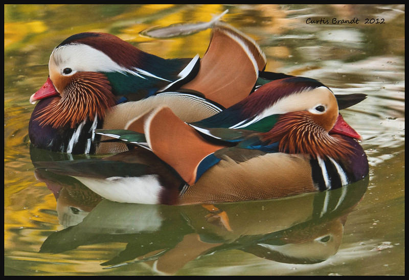 Mandarin Duck -- (Aix galericulata)<br /> <br /> Among the most exquisite of all birds, pairs were formerly presented to Japanese newlyweds as traditional wedding gifts.  Breeding drakes have distinctive orange side whiskers and dorsal sails