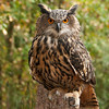 "Eurasian Eagle Owl ...   PS editing by Larry Hitchens   <a href=""http://www.hitchensphotography.com"">http://www.hitchensphotography.com</a>"