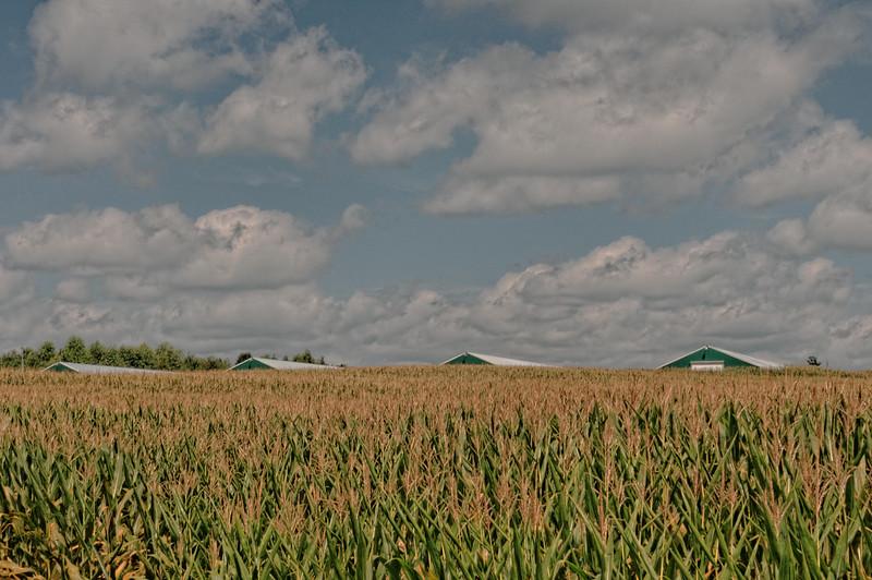 Corn Field on Hwy 47