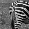 South End of a North-Bound Zebra