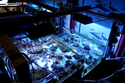 60 gallon coral fragment tanks at Williamsport Area High School (Williamsport, PA). 30 square feet of surface area.