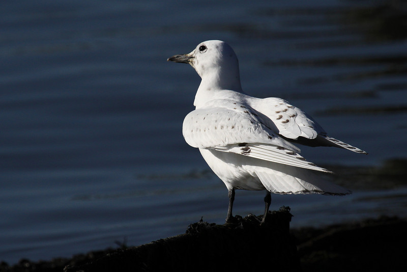 young Ivory Gull--NJ