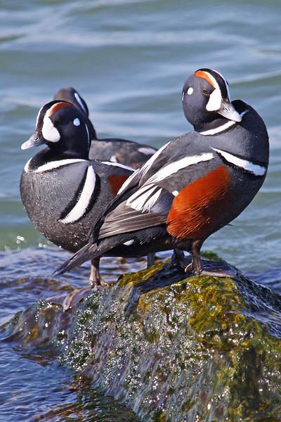 Harlequin Ducks-Barnegat Inlet, NJ