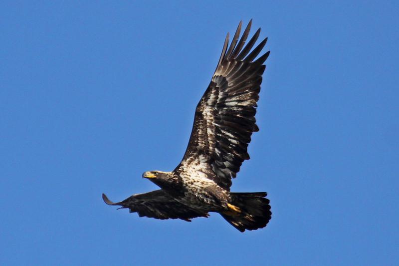 immature bald eagle  Conewingo Dam MD