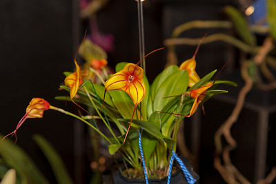 Masdevallia Tiger Bay---Tiger Bay is a  new hybrid. It was registered in December 2010.   There have already been several AOS awards to Tiger Bay.  The breeding is Masdevallia Golden Tiger x Masdevallia triangularis. I want one now.