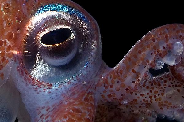 The squid<br /> 12:a i makro (Nordiska vatten)