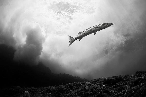 The barracuda - 3:a i vidvinkel utan dykare i utomnordiska vatten.