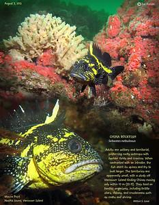 CHINA ROCKFIISH.. Tahsis Narrows, , Nootka Sound, British Columbia. August 3, 2012