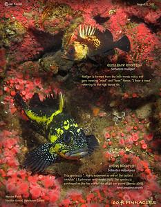QUILLBACK and CHINA ROCKFIISH.. Tahsis Narrows, , Nootka Sound, British Columbia. August 3, 2012