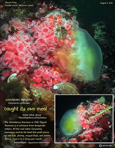 STRAWBERRY ANEMONE ( Corynactis californica ) eating EGG YOLK JELLY. Tahsis Narrows,  Nootka Sound, British Columbia. August 3, 2012