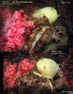 NOBLE DORID and STRAWBERRY ANEMONE ( Corynactis californica ). Tahsis Narrows,  Nootka Sound, British Columbia. August 3, 2012