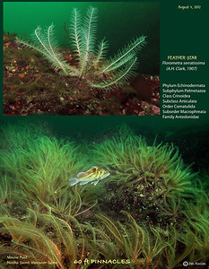 FEATHER STAR  (Florometra serratissima ). Tahsis Narrows, , Nootka Sound, British Columbia. August 3, 2012