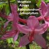 Mountain Azalea