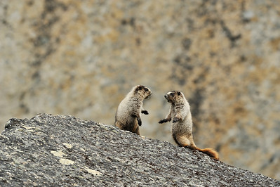 Hoary Marmots (Marmota Caligata) playing/wrestling/snuggling in the Cirque of Unclimables. Nahanni National Park is one of the world's top paddling/canoeing rivers, and  Unesco World Heritage site. The Nahanni River is also a Canadian Heritage River. Northwest Territories (NWT) Canada.