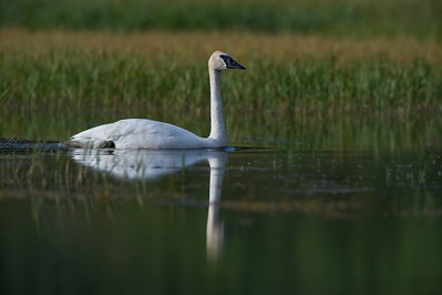 Trumpeter Swan (Cygnus Buccinator) in small pond at the headwaters of the Little Nahanni River. Northwest Territories (NWT) Canada.