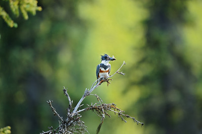 A Kingfisher with a minnow in beak on the Little Nahanni River.