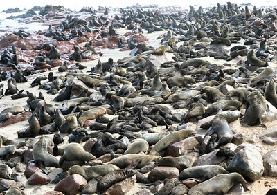 "a lot of seals.  cape cross.  google earth: 21º46'18.52""S  13º57'03.58""E"