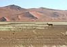 an impala.  soussvlei national park