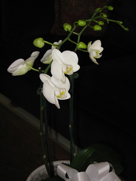 birthday orchid from Joan