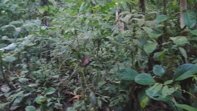 Wood-quails & Guapa Muyo