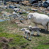 NASH ISLAND, Maine -- 05/17/2017 - Newborn lambs follow their mother on Little Nash Island Wednesday. Alfie Wakeman and his family take care of approximately 150 sheep spread between Little and Big Nash Islands. Ashley L. Conti | BDN