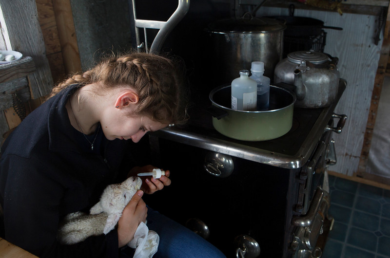 NASH ISLAND, Maine -- 05/17/2017 - Evie Wakeman, 15, dropper feeds an abandoned lamb her father, Alfie, found on Little Nash Island Wednesday. The pair brought the lamb to Big Nash Island to start the process of nursing it back to health. The family takes care of approximately 150 sheep spread between Little and Big Nash Islands. Ashley L. Conti | BDN