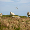 NASH ISLAND, Maine -- 05/17/2017 - Sheep relax on Little Nash Island Wednesday. Alfie Wakeman and his family take care of approximately 150 sheep spread between Little and Big Nash Islands. Ashley L. Conti | BDN