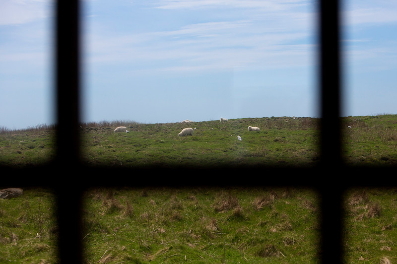 NASH ISLAND, Maine -- 05/17/2017 - Sheep are seen grazing through the window of the Wakeman's camp on Big Nash Island Wednesday. The family takes care of approximately 150 sheep spread between Little and Big Nash Islands.  Ashley L. Conti   BDN