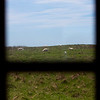 NASH ISLAND, Maine -- 05/17/2017 - Sheep are seen grazing through the window of the Wakeman's camp on Big Nash Island Wednesday. The family takes care of approximately 150 sheep spread between Little and Big Nash Islands.  Ashley L. Conti | BDN
