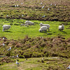 NASH ISLAND, Maine -- 05/17/2017 - Sheep graze on Little Nash Island Wednesday. Alfie Wakeman and his family take care of approximately 150 sheep spread between Little and Big Nash Islands. Ashley L. Conti | BDN