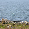 NASH ISLAND, Maine -- 05/17/2017 - A newborn lamb feeds from its mother on Little Nash Island Wednesday. Alfie Wakeman and his family take care of approximately 150 sheep spread between Little and Big Nash Islands. Ashley L. Conti | BDN