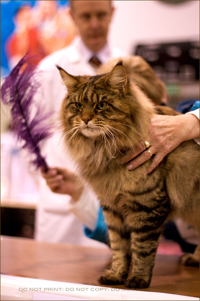 Rupert the maine coon cat