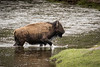 Buffalo wades accross the Madison River in Yellowstone