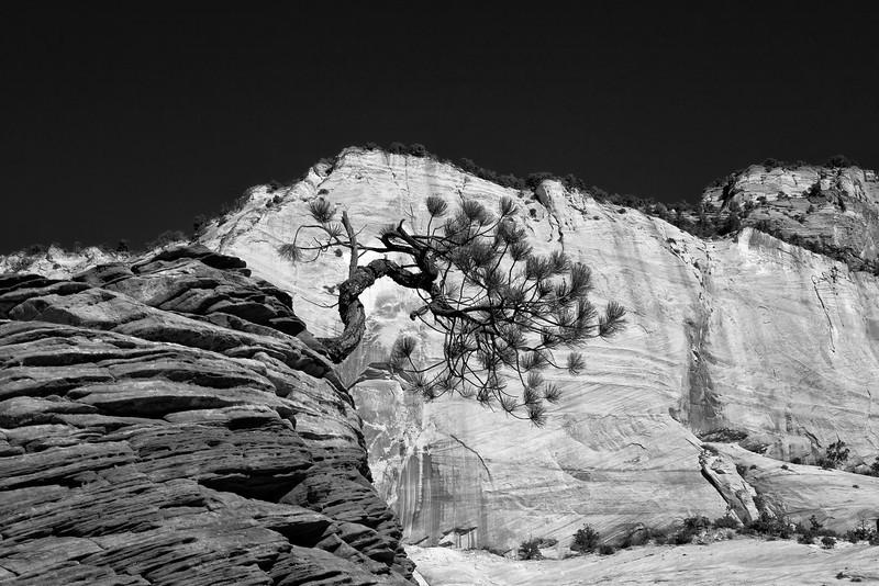 Bonsai tree in Zion National Park Utah