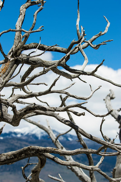 Skeleton Tree at Mammoth springs, Yellowstone National Park