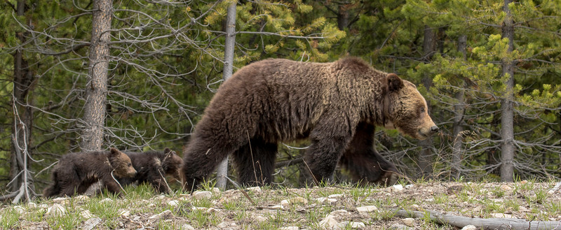 Momma Grisley with her two cubs, Yellowstone National Park