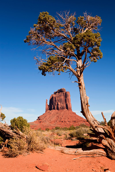Twisted tree in the shadow of East Mitten Butte of Monument Valley Arizona