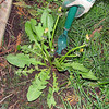 Use a hand weeder not herbicides. Develop a tolerance for weeds.