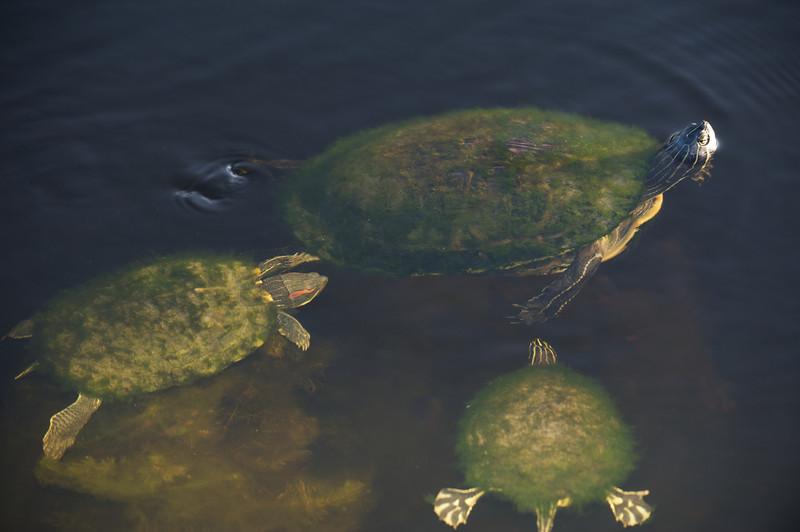 Turtle, Purple Ganiinule, Etv
