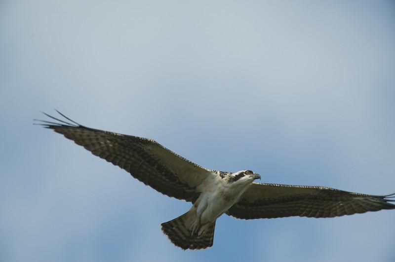 Burrowing Owls at FAU and Bany Osprey at Yamato Scrub
